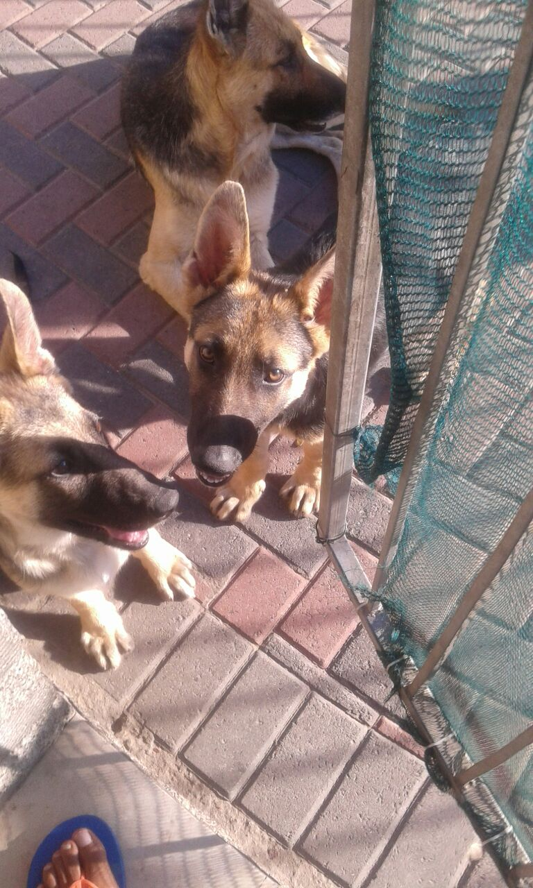 German shepard puppies for sale - 4 months old - 1 X Male nd 1 X Female