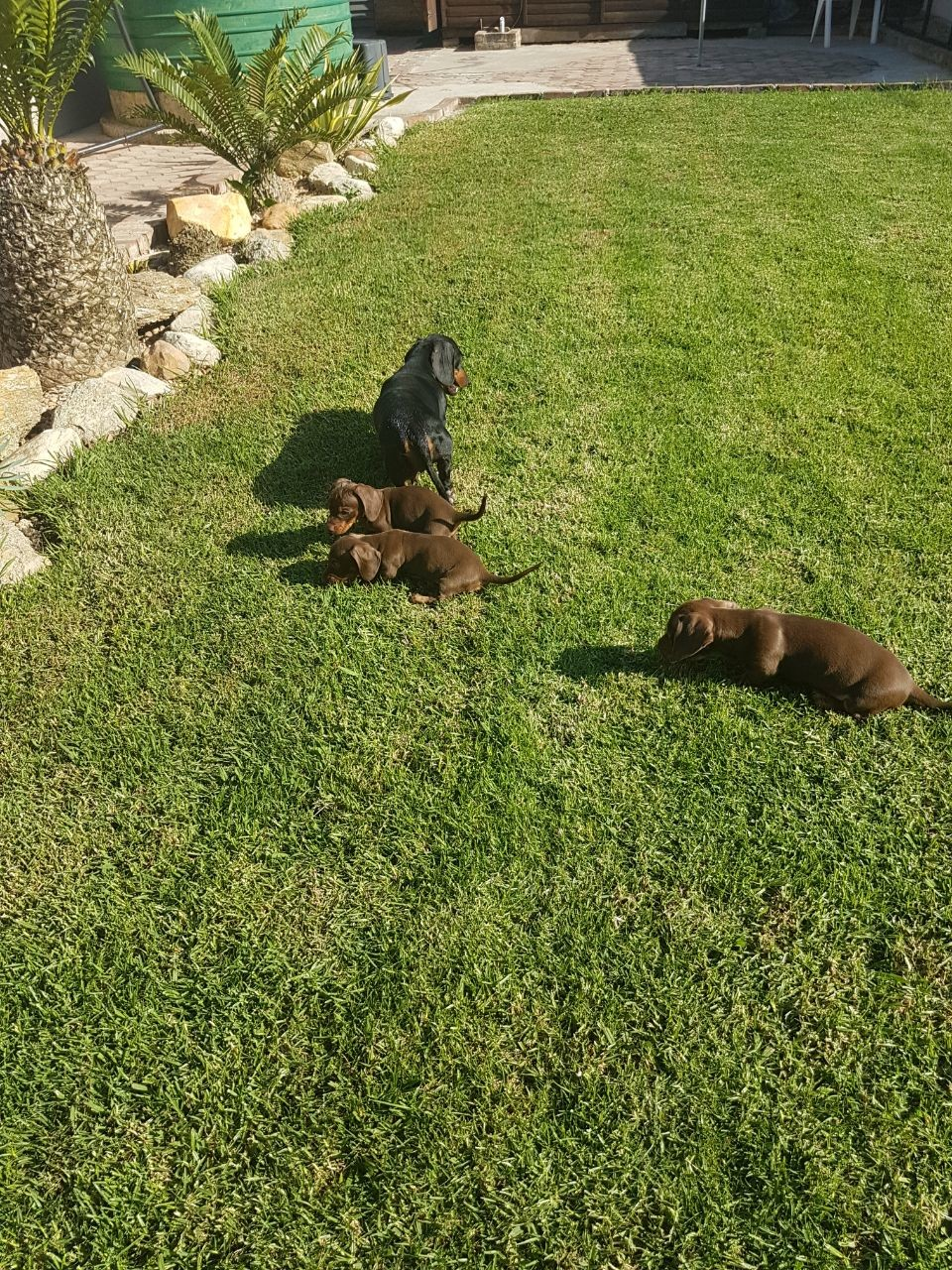 3 male chocolate dachshund puppies for sale.