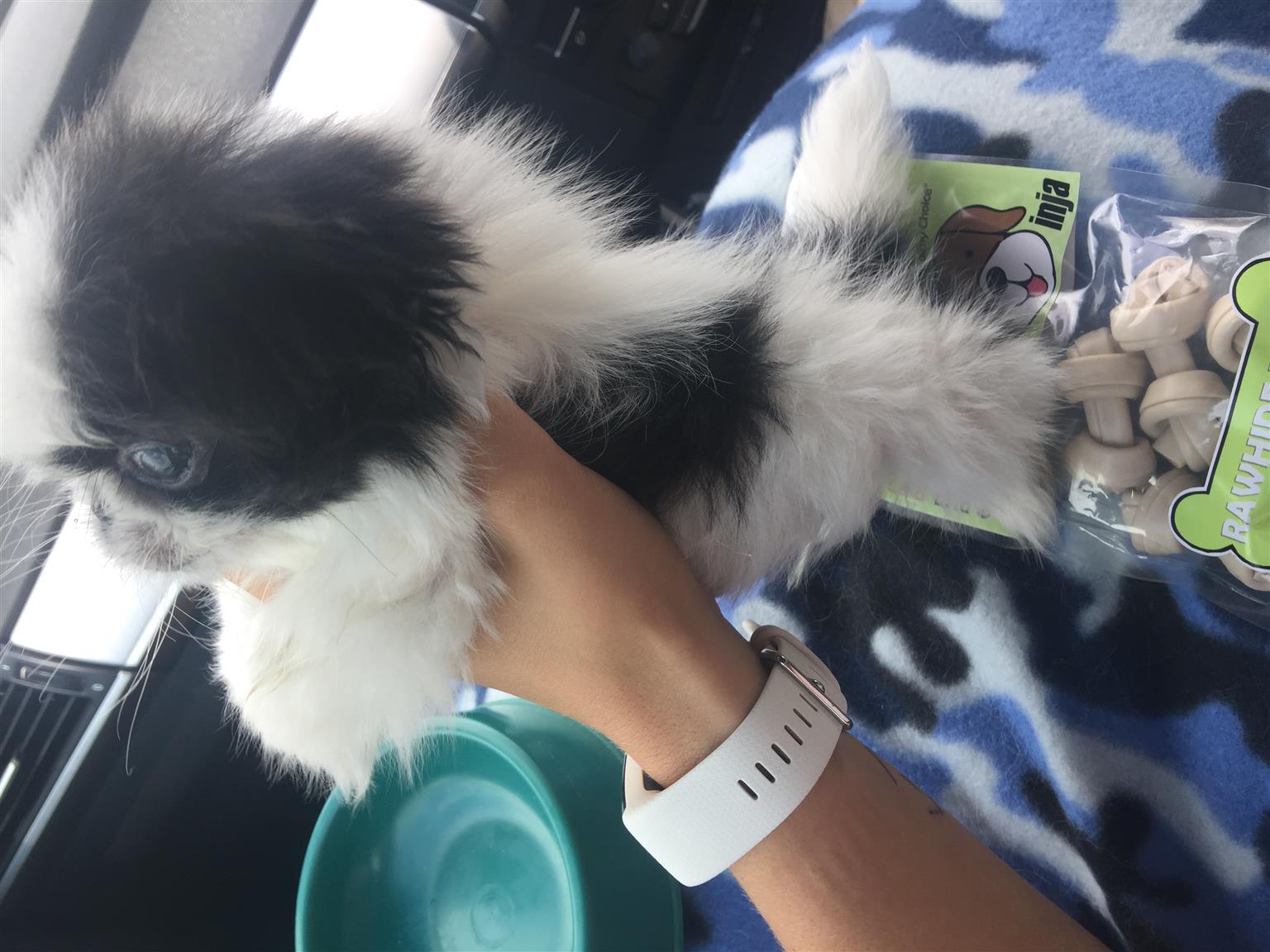 Pekinise puppy teacup