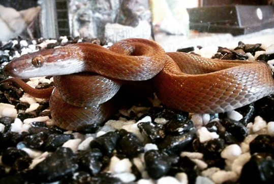 House Snakes (male and female)