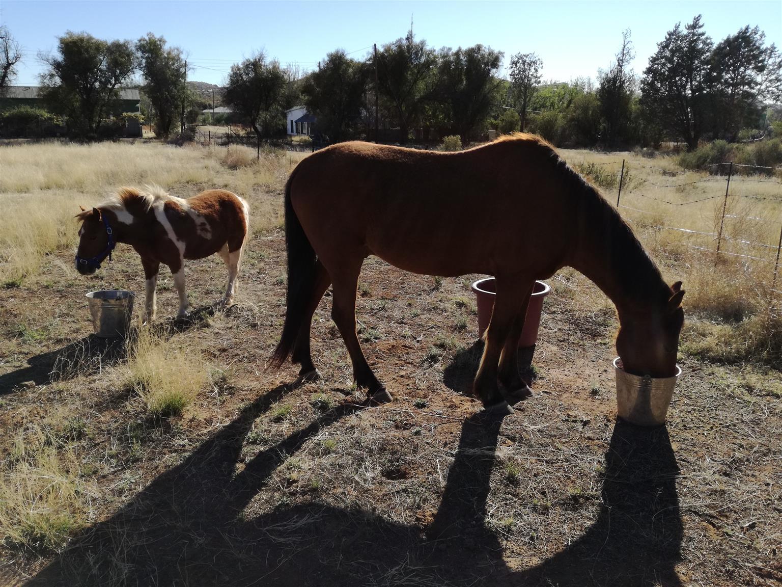 Pinto Shetland Pony for sale