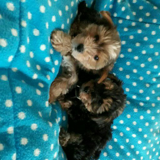 Yorkshire terrier babad
