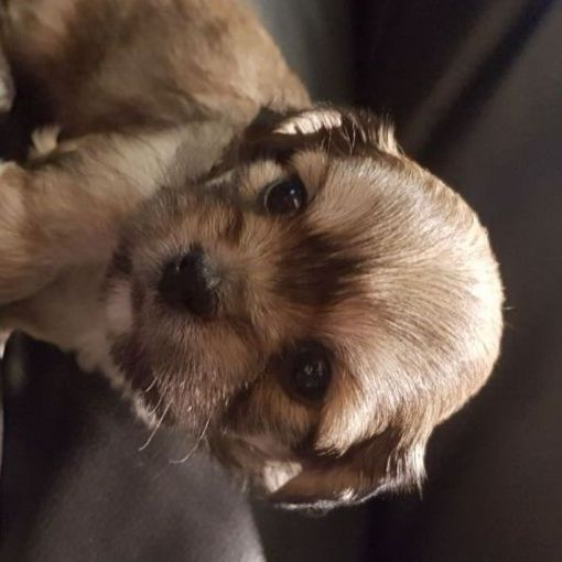 Maltese male & female pups