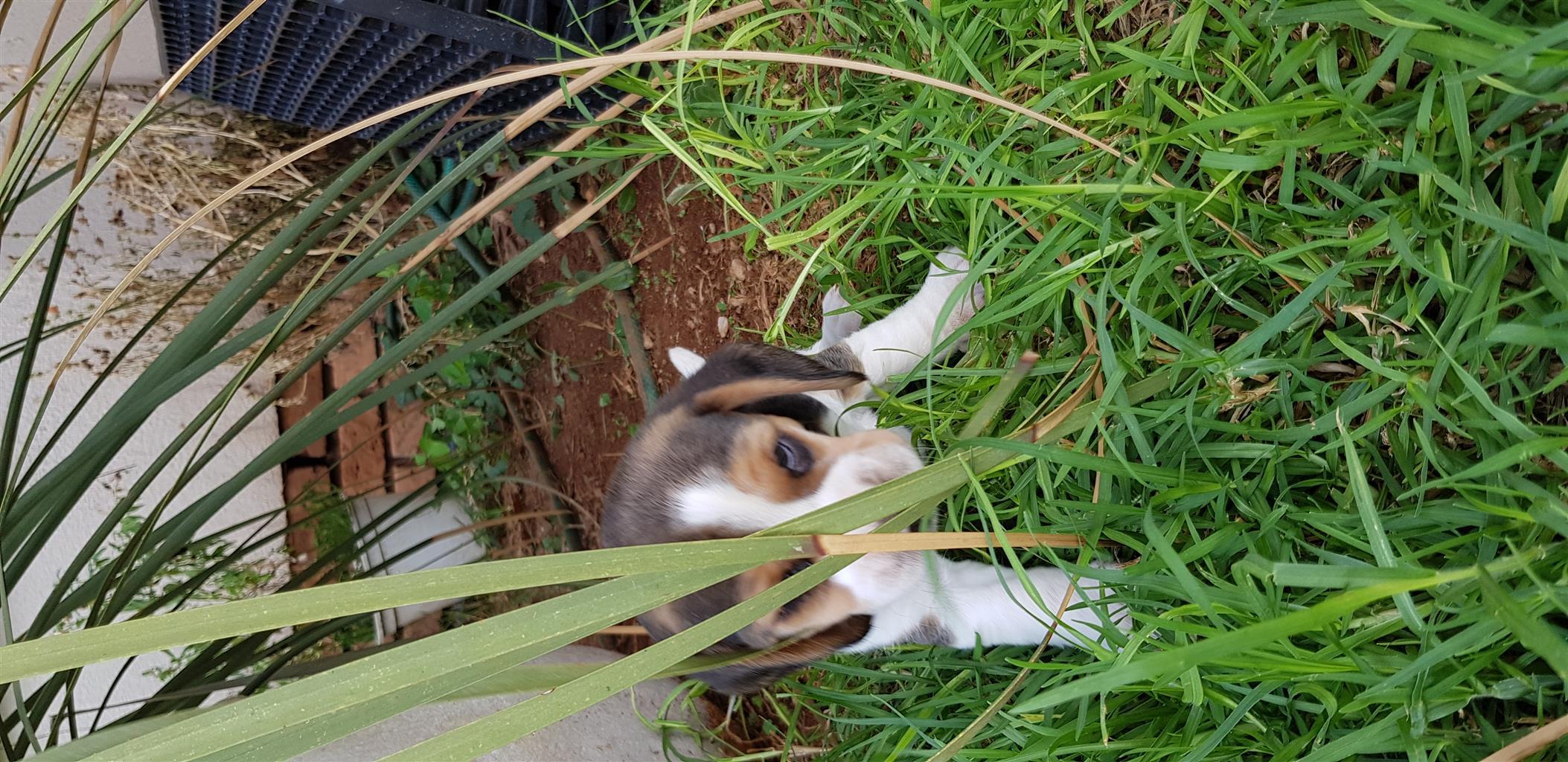 Tri Color Beagles