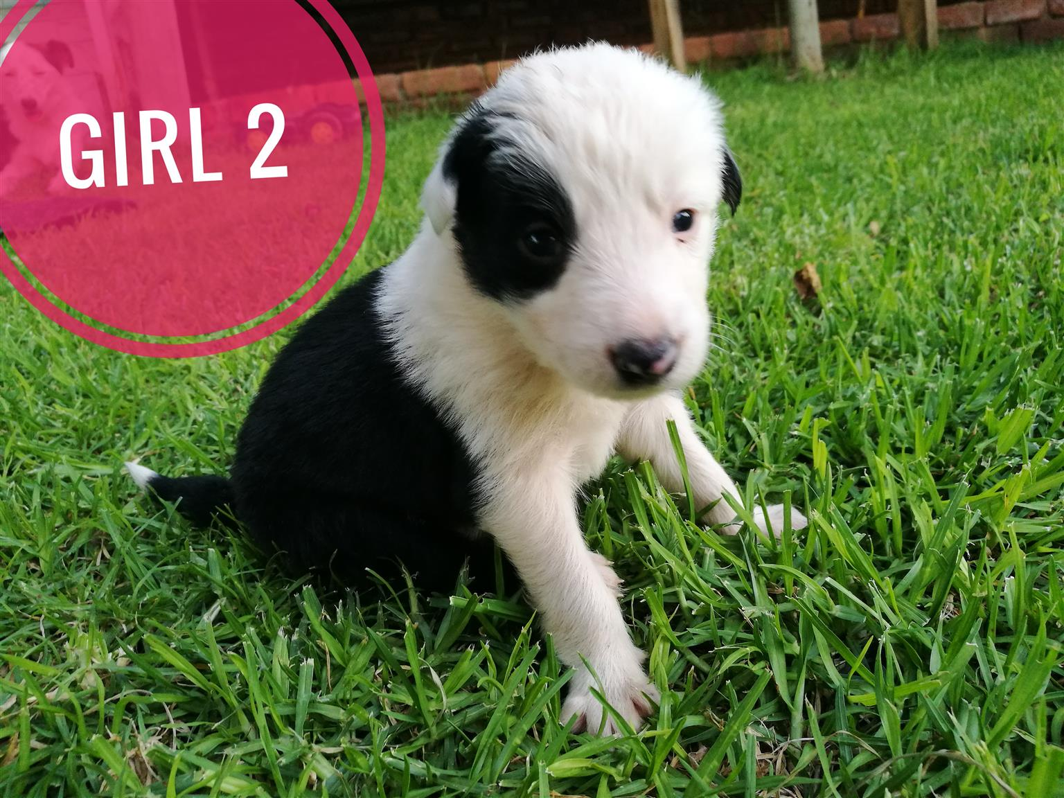 PURE BRED BORDER COLLIES/ SKAAPHONDE