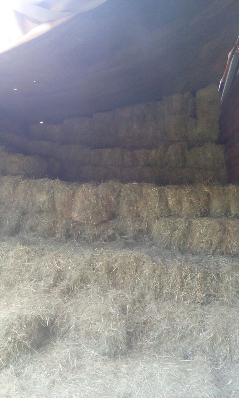 Top quality teff and eragrostis for sale
