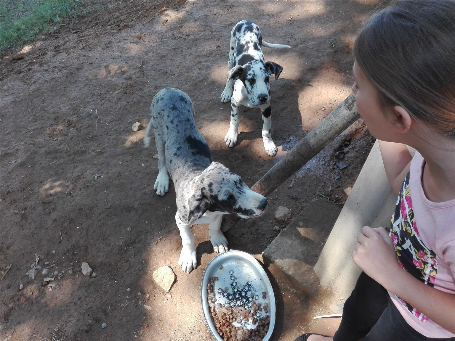 Pureblood great dane puppies for sale