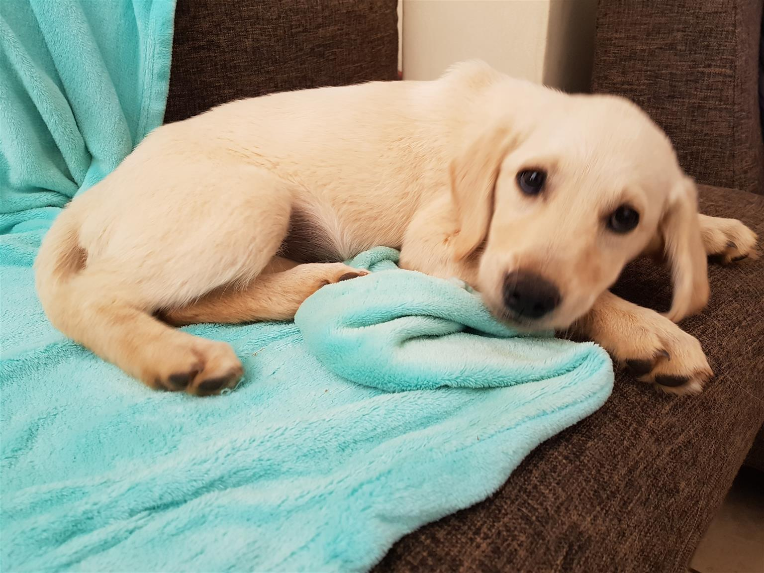 Labrador retriever puppies for sale
