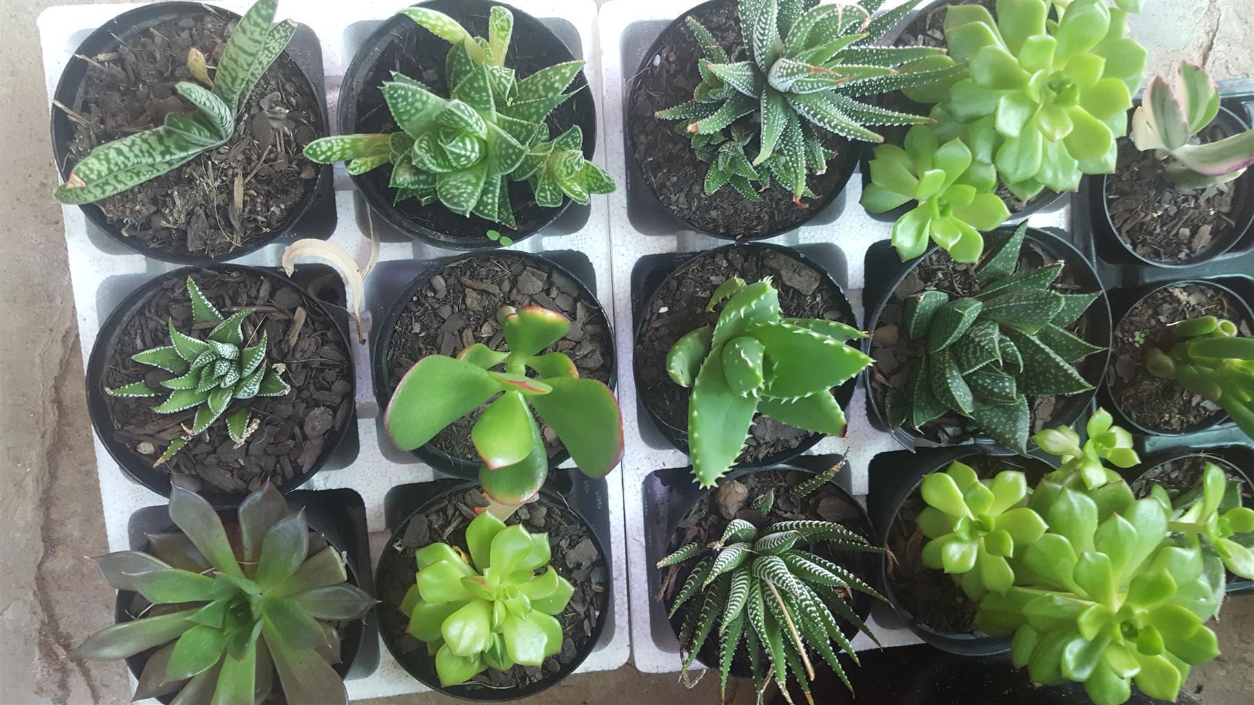 Aloes, Succulents & Cacti
