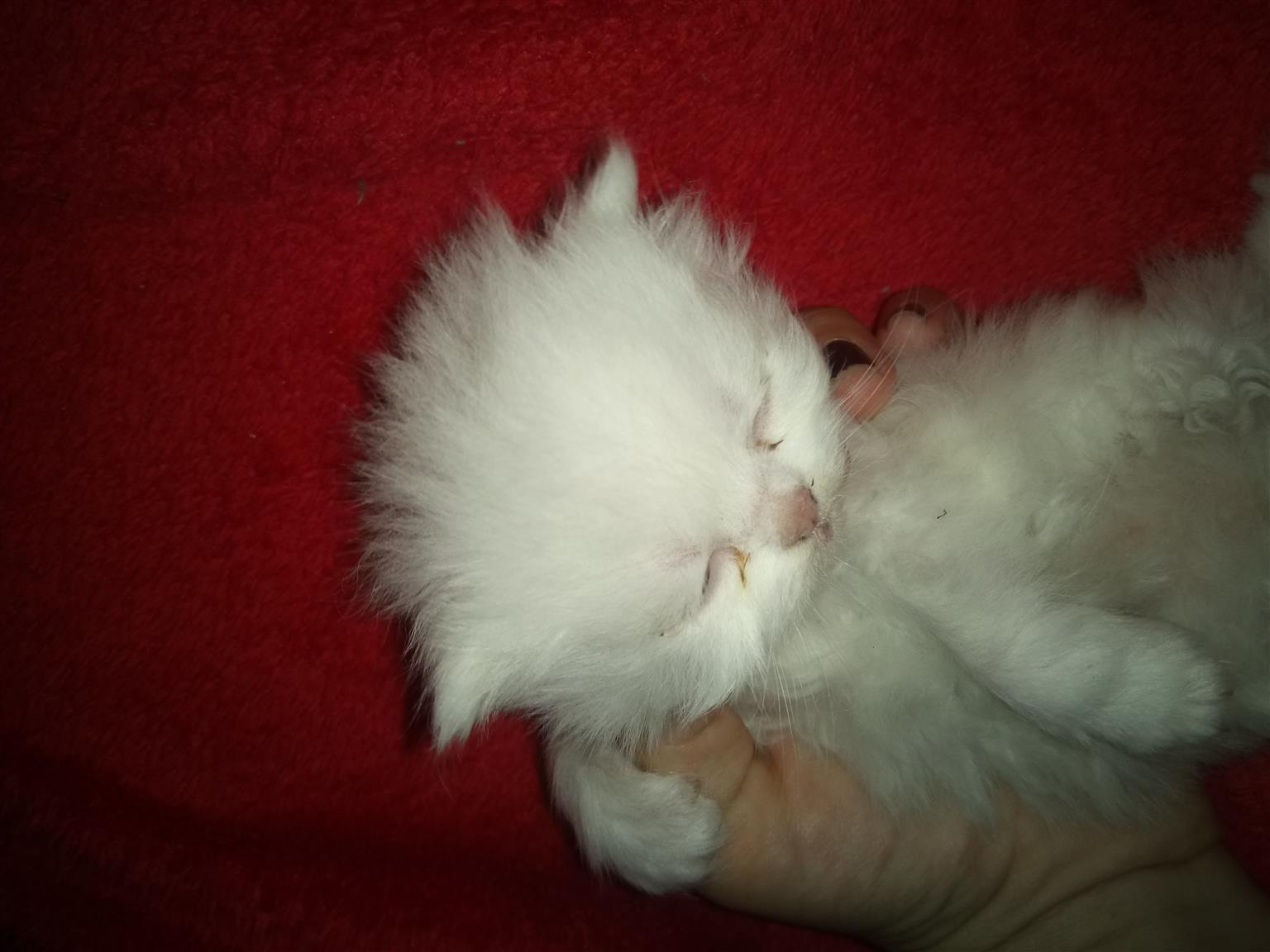 Adorably cute Persian kitten's