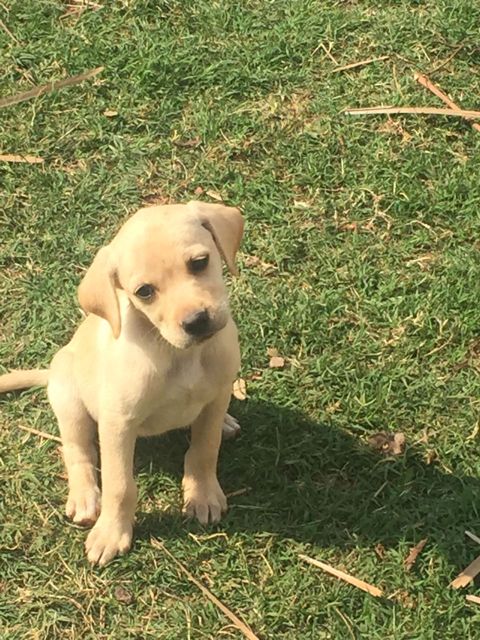 8wk old, male Labrador puppy looking for a good home.