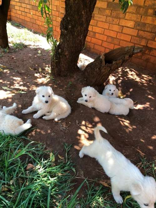 White german shepherd puppies must go by this WEEKEND