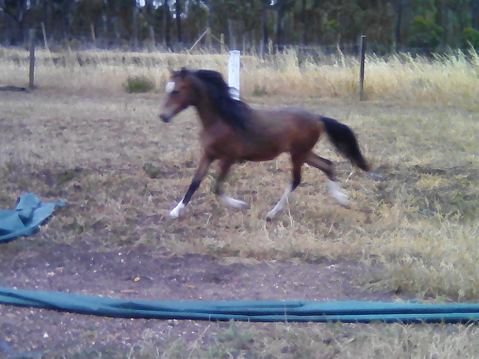 Pony Foals For sale