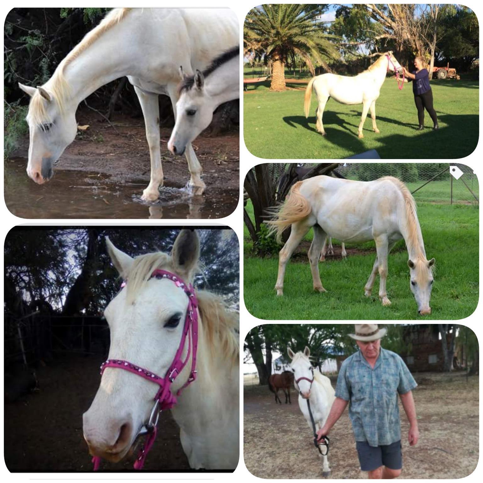 Nooitgedacht Merrie white horse, mak perd