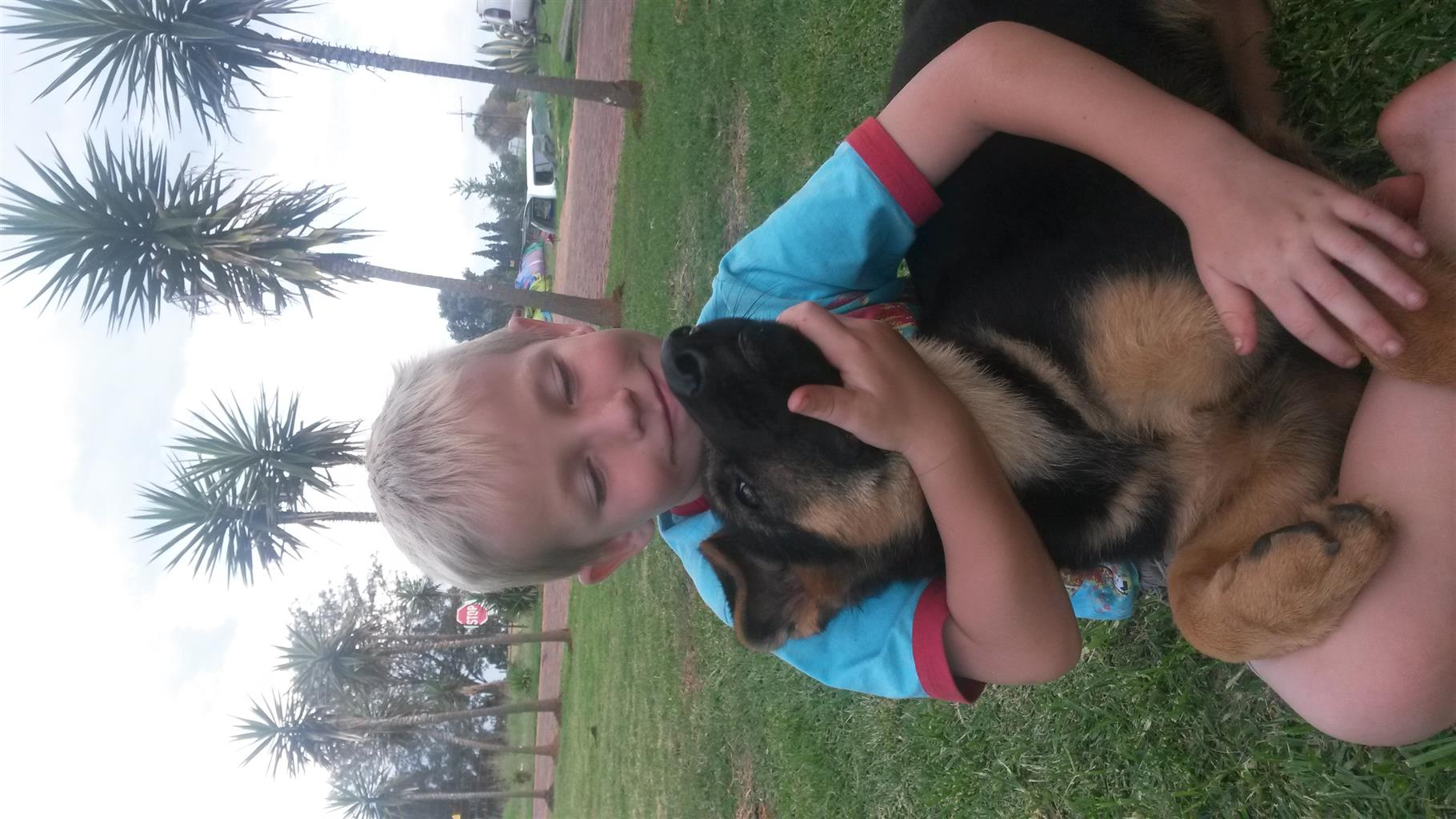 PUPPIES FOR SALE GSD FEDERATION OF SA REGISTERED