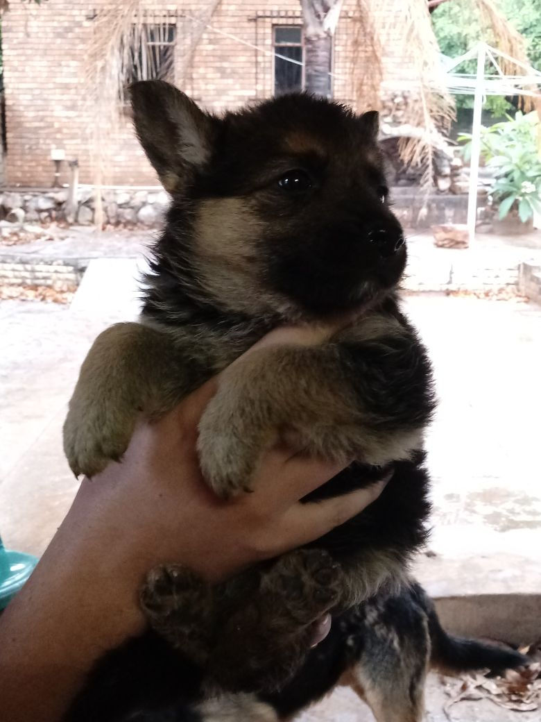 Alsation Pups