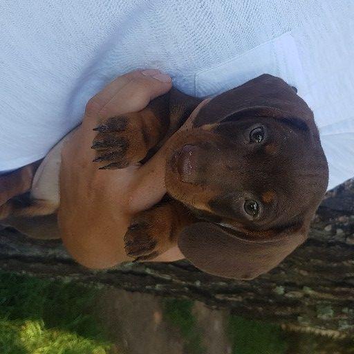 Miniature Chocolate Dachshund pups
