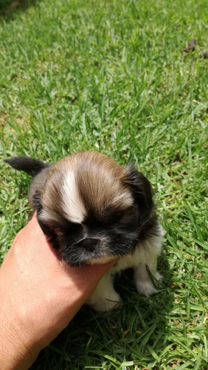 Pekingese puppies / hondjies