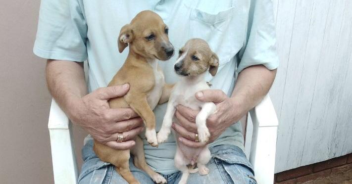 Jack Russel x Skietbaard puppies for sale