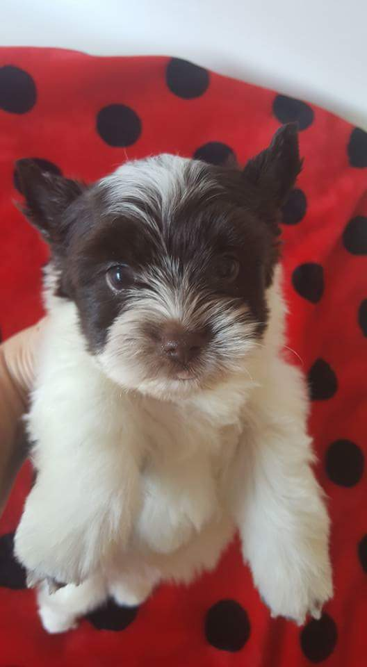 Yorkshire terrier boy For Sale