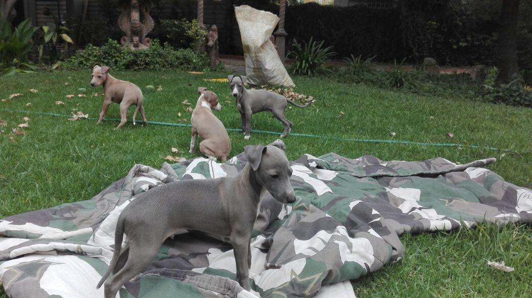 Italian geyhound puppies