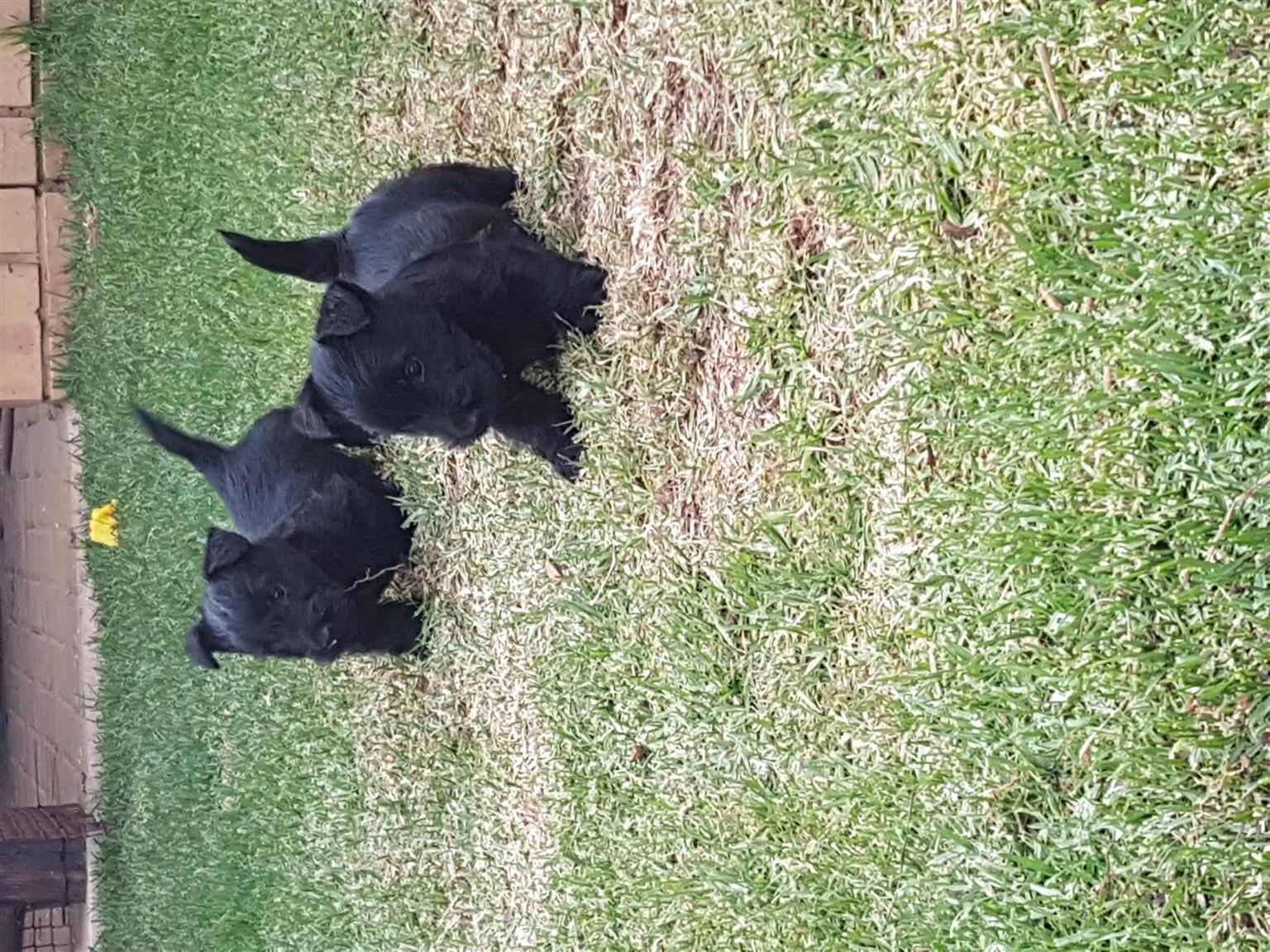 Kusa Registered Scottish Terriers (Wheaten and Black)