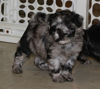 Beautiful Havapoo Puppies Available.