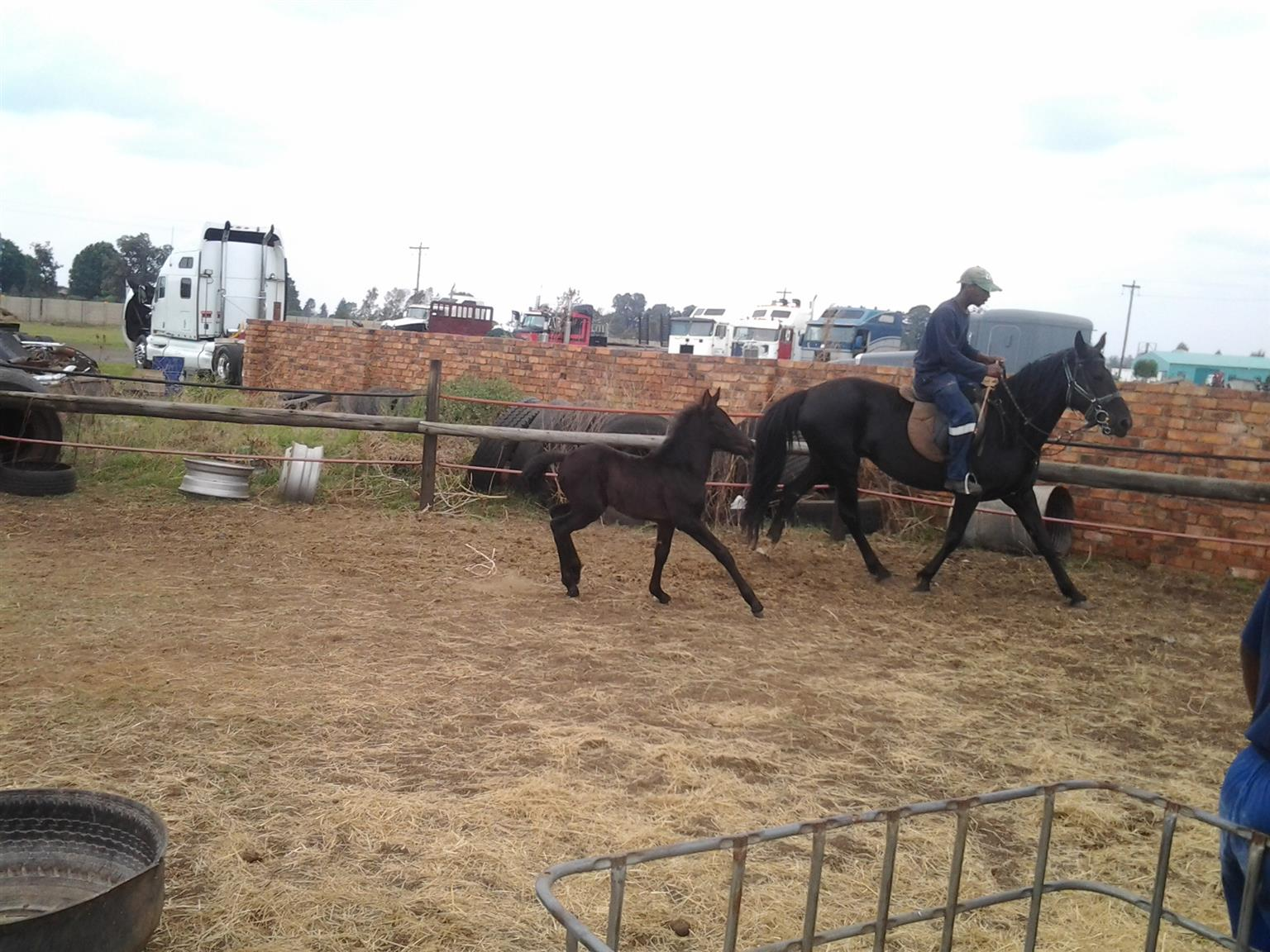 Friesian cross mare and friesian cross filly for sale