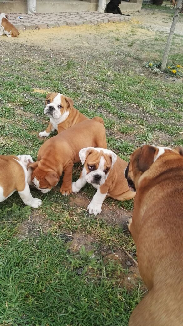 Gorgeous KUSA Reg English Bulldog puppies available and ready to join their new families!