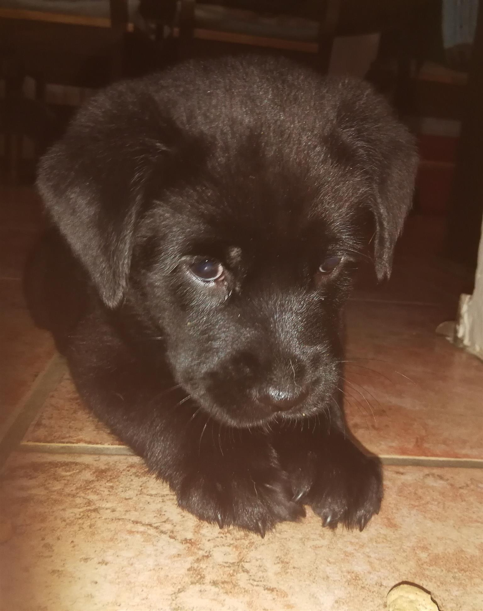 Chow/Lab puppies for Sale only 1 left