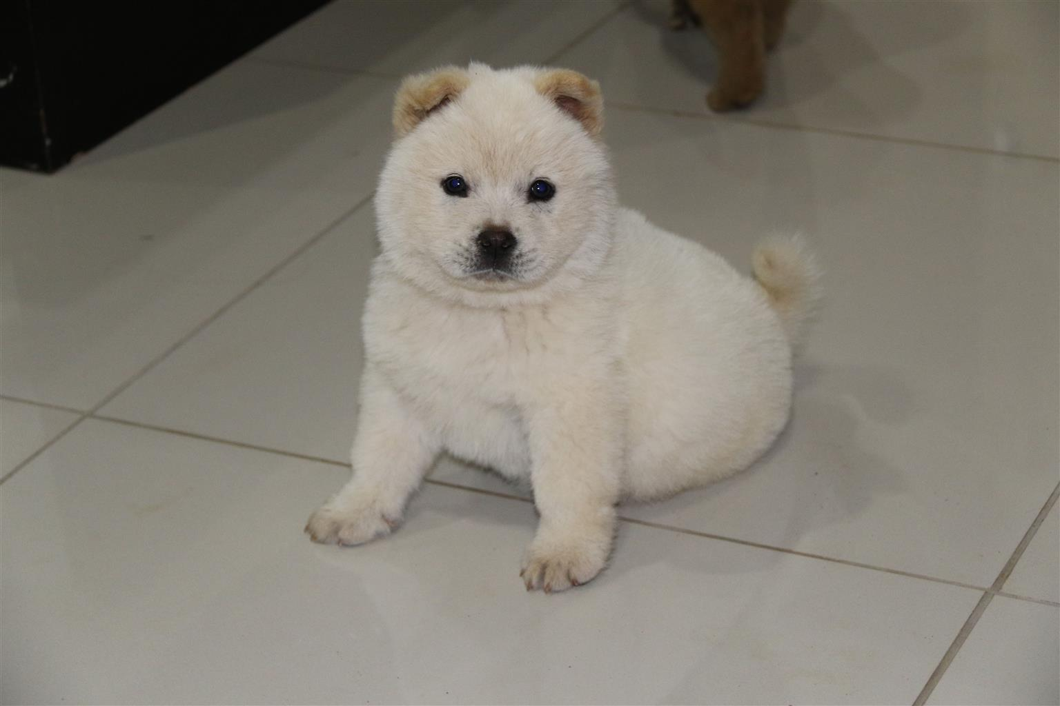Chow Chow puppies for sale R2000.00 each negotiable 6weeks old (vaccinated)