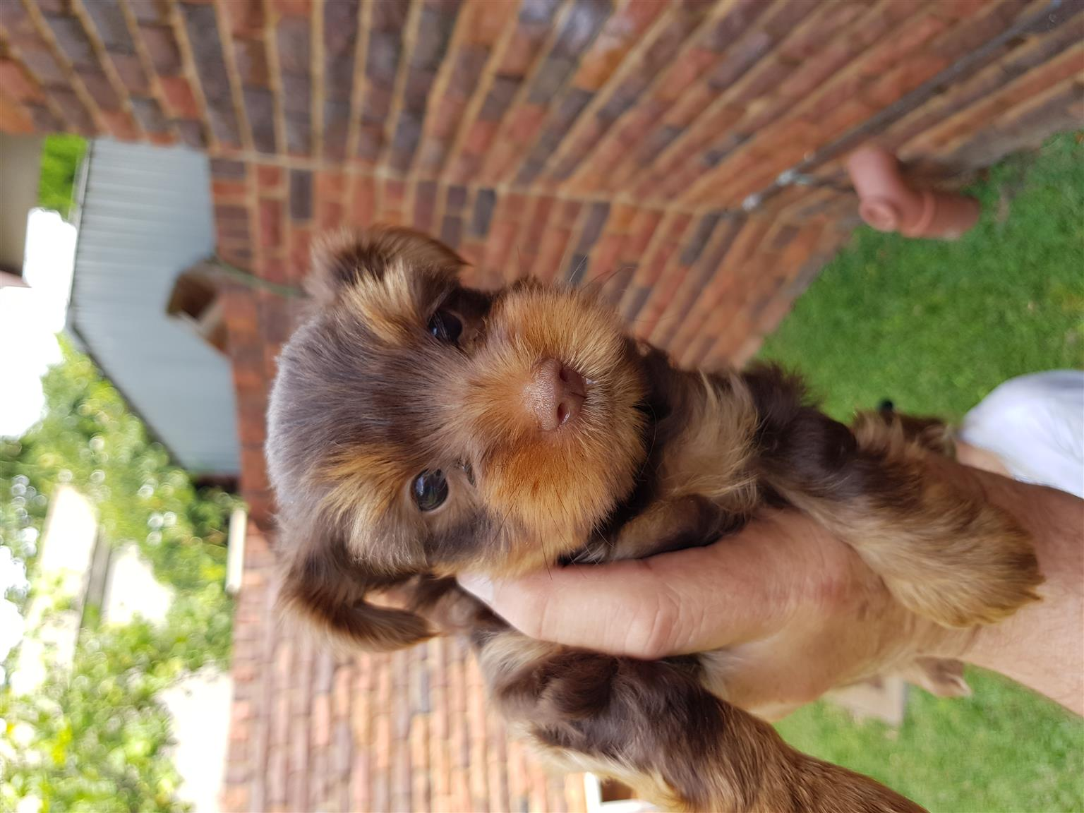Pocket size small breed Yorkies 8 weeks old and VET Checked