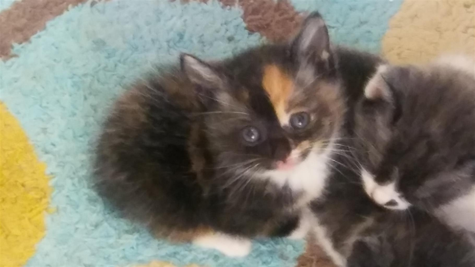 cute playful kittens for sale