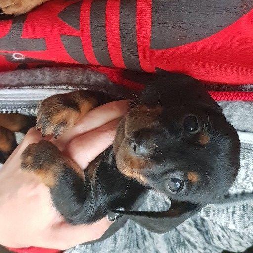 Miniature Daxi worsie pups