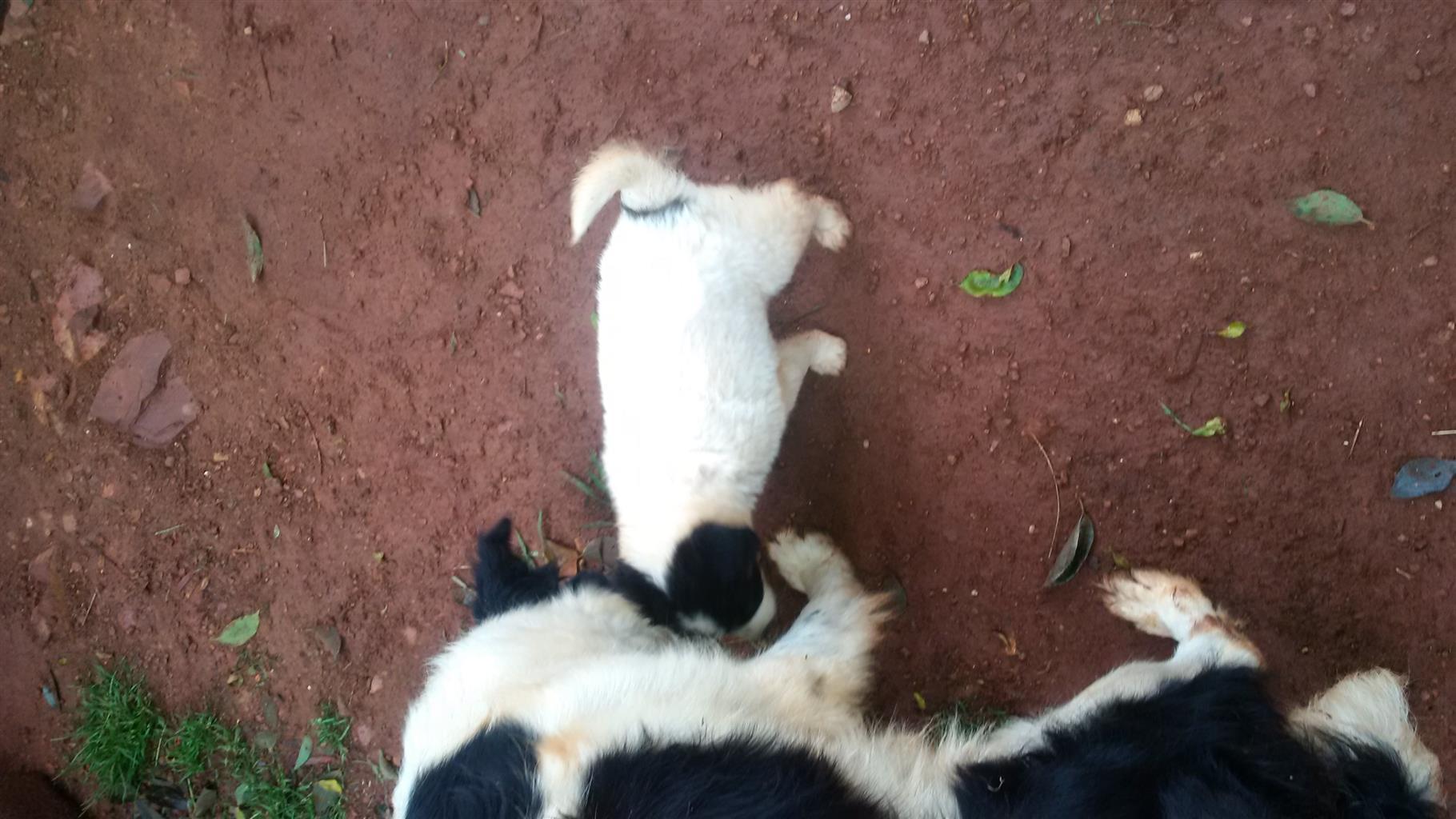 two female mix labrado collie