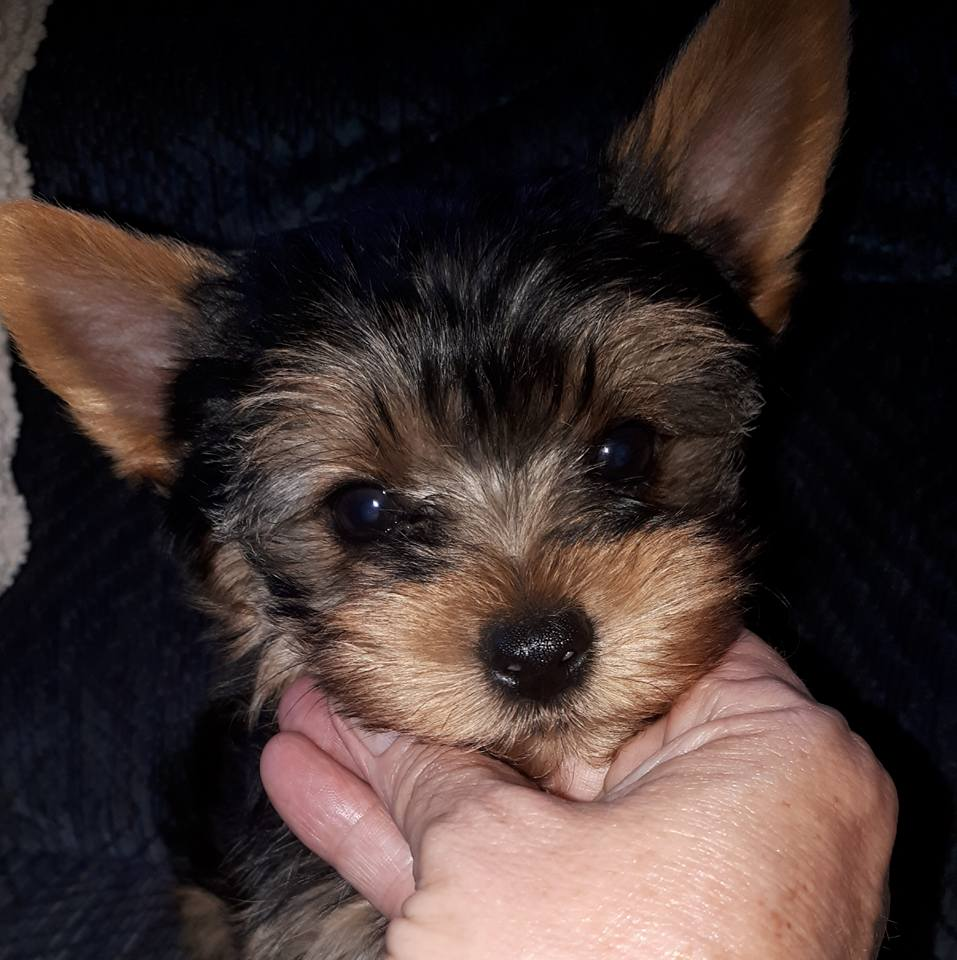 Gorgeous pocket size yorkie male available