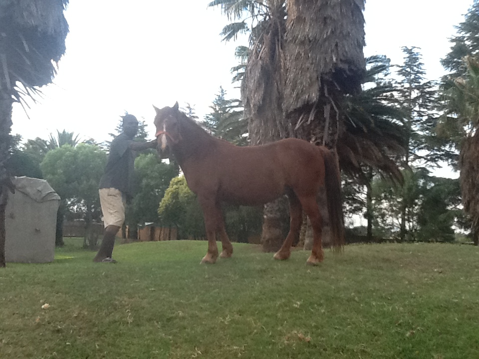 "Horse for sale """" horse Bella"