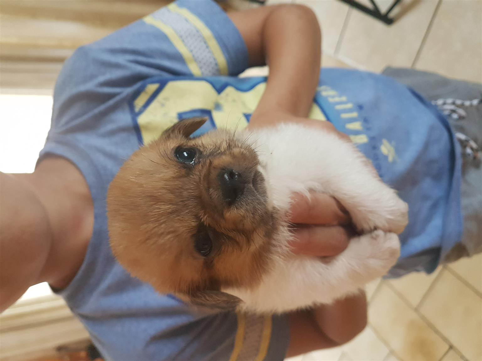 Pekingese x sausage dog for sale
