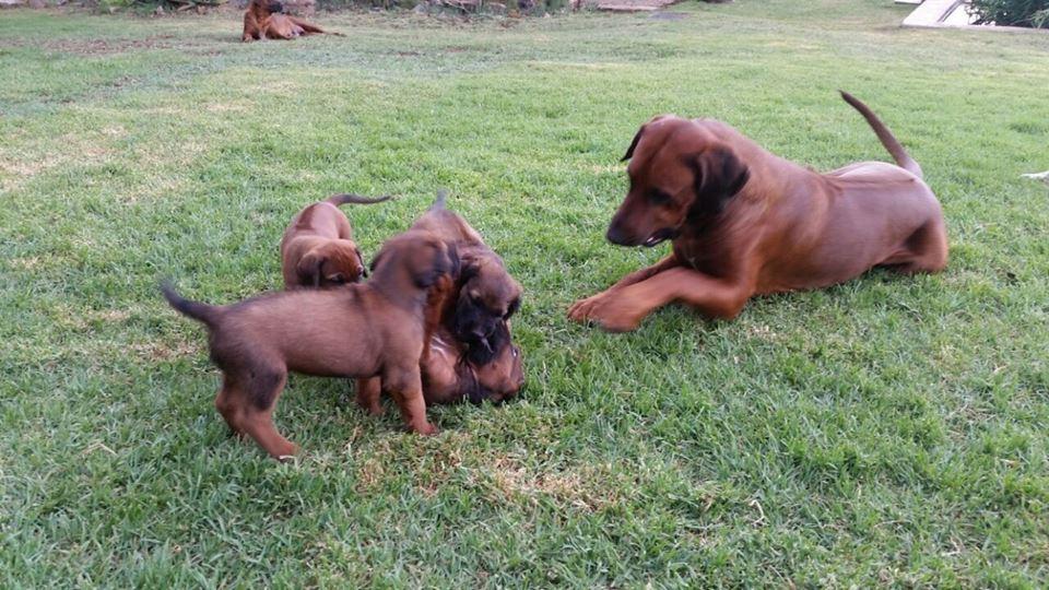 8 week old Ridgeback males x 4