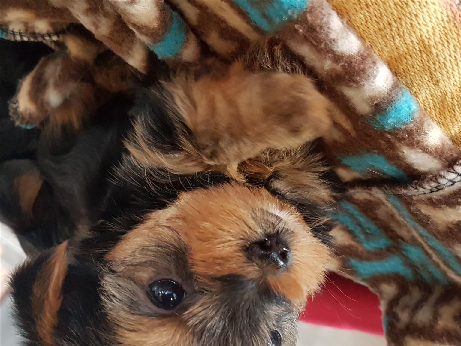 Adorable Yorkie puppies
