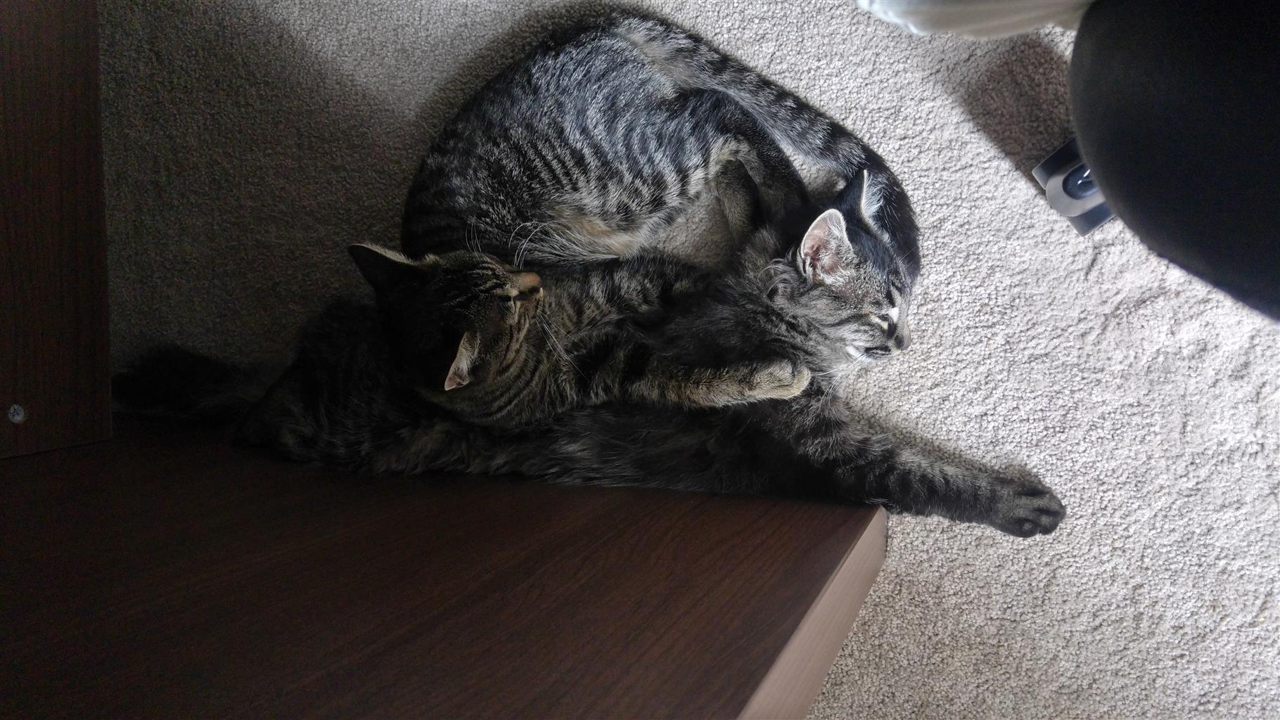 Maine coon mix sister kittens looking for a home