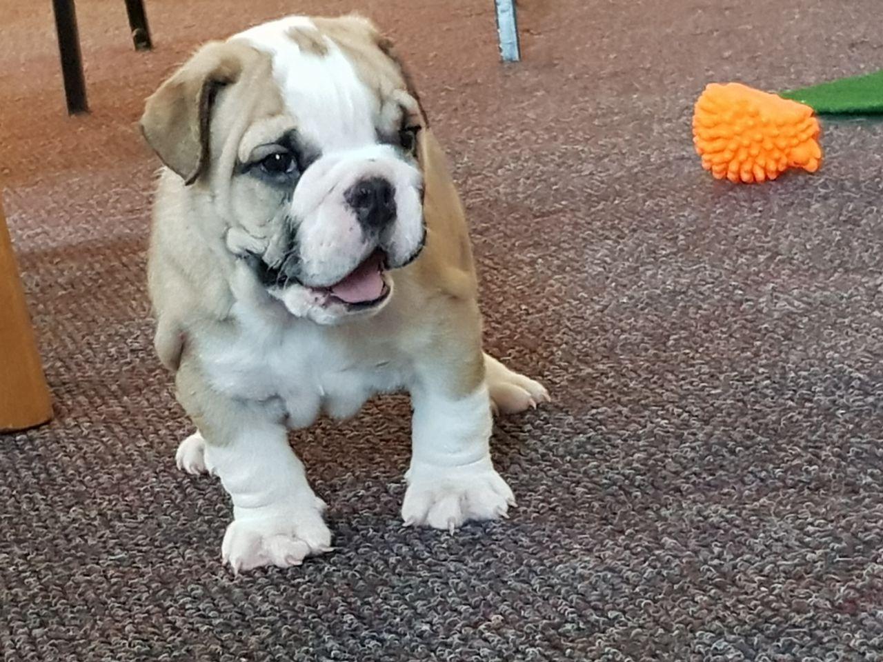 Engelse bulldog tefie te koop