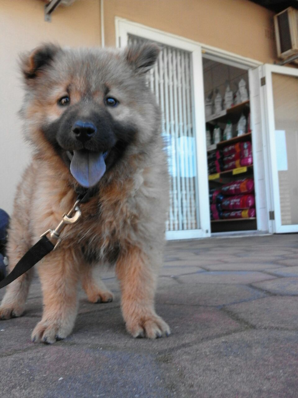 Pure breed Chinese Chow pup