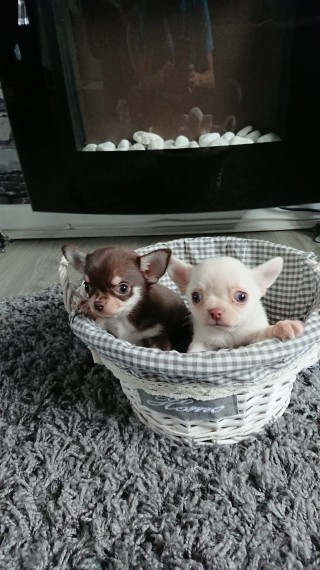 Tiny Chihuahua Puppies For Sale