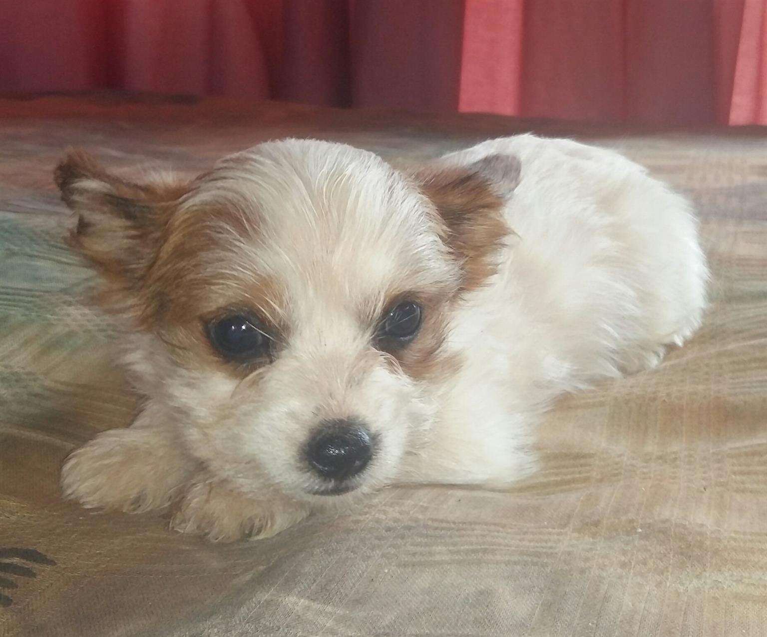 Yorkshire Terrier Sable White miniature female puppy