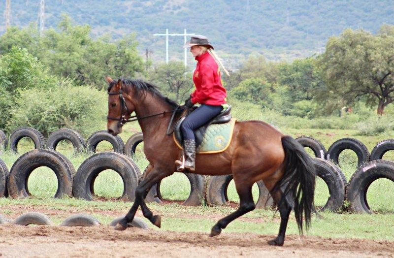 REGISTERED SA BOERPERD MARE
