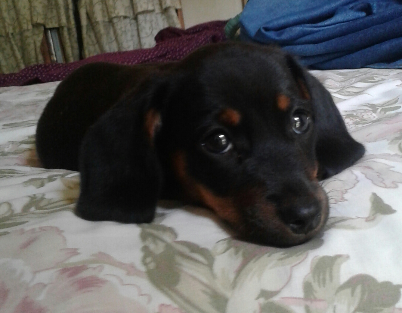 Dachshund Black and Tan Puppy