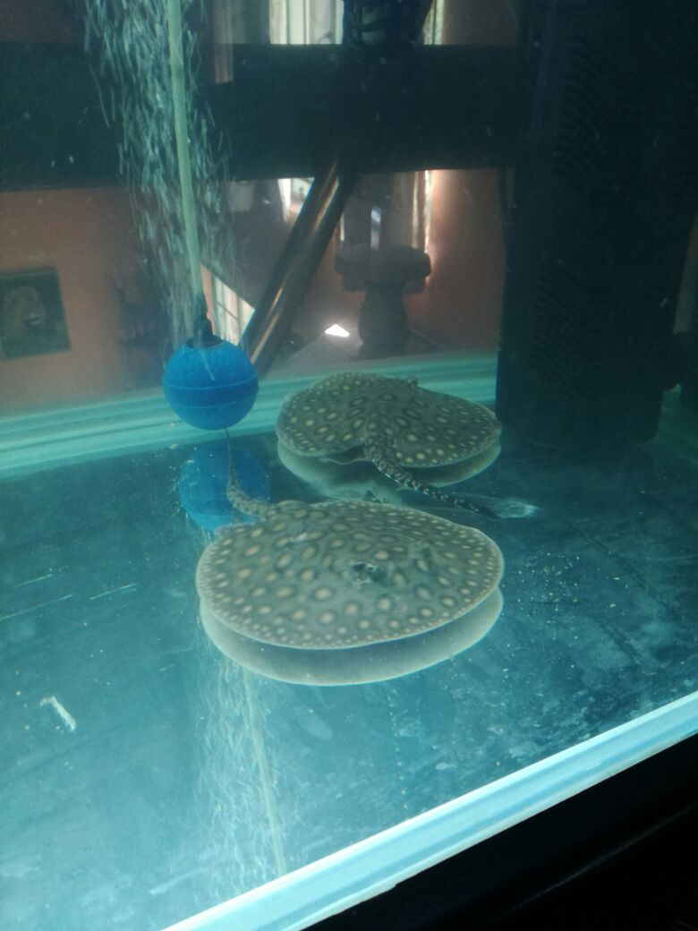 Fresh Water Stingray For sale