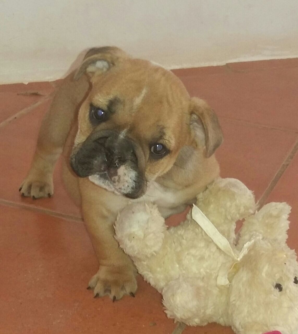 Most beautiful KUSA Reg Englsh Bulldog puppies available and ready to jon their new familes!
