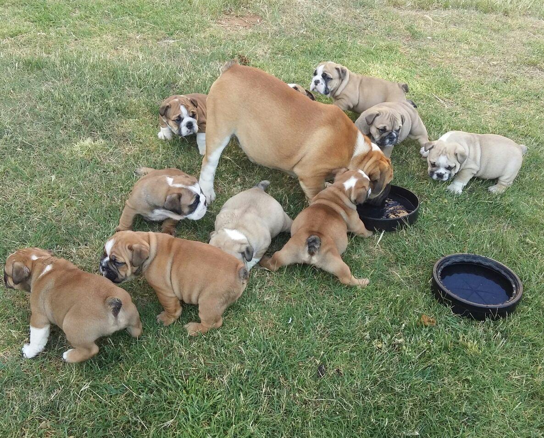 Most beautiful KUSA Reg Englsh Bulldog puppies